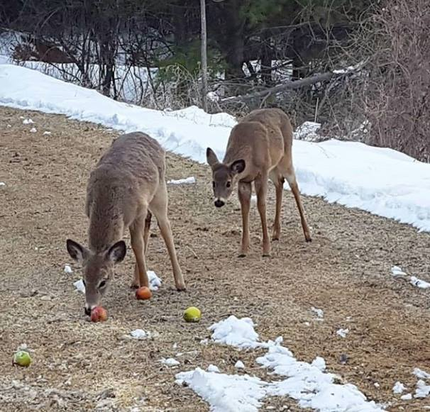 whitetail deer fawns in driveway